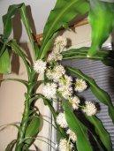 Драцена канарская, драконовое дерево (Dracaena) / Комнатные растения и цветы