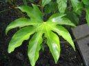 Фатсия японская (комнатная аралия) (Fatsia japonica) / Комнатные растения и цветы