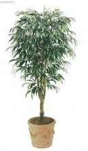 Фикус Али (Ficus Alii) / Комнатные растения и цветы