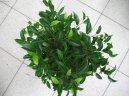 Фикус Бенджамина (Ficus benjamina) / Комнатные растения и цветы