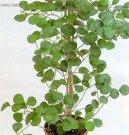 Фикус дельтовидный (Ficus deltoidea) / Комнатные растения и цветы