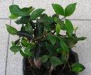 Фикус (Ficus) / Комнатные растения и цветы / Фикусы