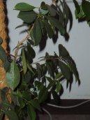 Фикус лировидный (Ficus lyrata) / Комнатные растения и цветы