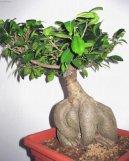 Фикус притупленный (Ficus Retusa) / Комнатные растения и цветы / Бонсаи