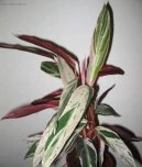 Филлитис (листовник) (Phyllitis)