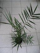 Финик канарский (Phoenix canariensis) / Комнатные растения и цветы / Плодоносящие растения