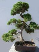 Фисташка (Pistacia) / Комнатные растения и цветы / Бонсаи