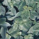 Фиттония (Fittonia)