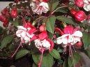 Фуксия (Fuchsia) / Комнатные растения и цветы / Требовательные и капризные растения