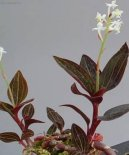 Гемария разноцветная (Haemaria discolor)