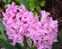 Гиацинт восточный (Hyacinthus  orientalis)