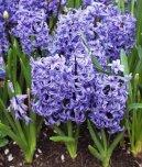 Гиацинт восточный (Hyacinthus  orientalis) / Комнатные растения и цветы / Ядовитые растения