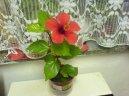 Гибискус китайский (Китайская роза) (Hibiscus rosa-sinensis)