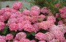 Гидрангея (Гортензия) (Hydrangea) / Комнатные растения и цветы