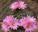 Гимнокалициум кактус (Gymnocalycium) / Комнатные растения и цветы / Кактусы, суккуленты