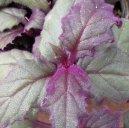 Гинура (Gynura) / Комнатные растения и цветы / Кустовые