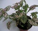 Гипестес листоколосковый (Hypoestes phyllostachya)
