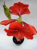 Гиппеаструм (Hippeastrum) / Комнатные растения и цветы / Ядовитые растения