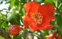 Гранат карликовый (Punica granatum)