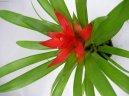 Гузмания (Guzmania) / Комнатные растения и цветы