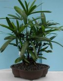 Хамедорея изящная (Chamaedorea elegans) / Комнатные растения и цветы / Пальмы