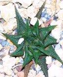 Хавортия (Haworthia) / Комнатные растения и цветы / Компактные растения