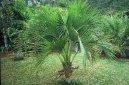 Ховея Бельмора (Howea belmoreana) / Комнатные растения и цветы / Пальмы