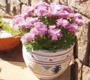 Хризантема (Chryzanthemum) / Комнатные растения и цветы / Неприхотливые растения