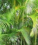 Хризолидокарпус желтоватый (Chrysalidocarpus lutescens) / Комнатные растения и цветы / Пальмы