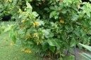 Хуануллоа оранжевая (Juanulloa aurantiaca) / Комнатные растения и цветы / Деревца