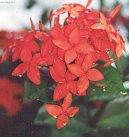 Иксора ярко-красная (Ixora coccinea)