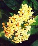 Иксора ярко-красная (Ixora coccinea) / Комнатные растения и цветы