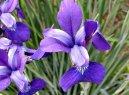 Ирис (Касатик) (Iris)