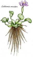 Эйхорния отличная (Эйхорния красивейшая, Водяной гиацинт) (Eichhornia crassipes) / Комнатные растения и цветы / Многолетние