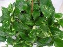 Эпипремнум (Epipremnum) / Комнатные растения и цветы / Плющи и лианы