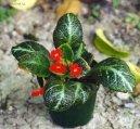 Эписция (Episcia) / Комнатные растения и цветы / Неприхотливые растения