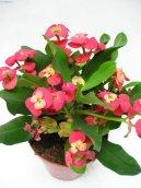 Эуфорбия блестящая (молочай миля) (Euphorbia milii) / Комнатные растения и цветы / Кактусы, суккуленты