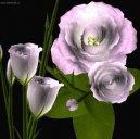 Эустома (Техасский колокольчик) (Eustoma) / Комнатные растения и цветы / Однолетние