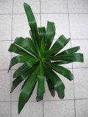 Юкка алоэлистная (Yucca aloifolia) / Комнатные растения и цветы