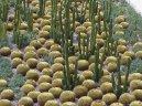 Кактус (Cactus)