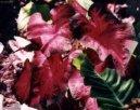 Каладиум садовый (Caladium Hortulanum)