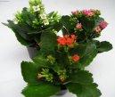 Каланхоэ (Kalanchoe) / Комнатные растения и цветы / Кустовые