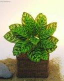 Калатея (Calathea) / Комнатные растения и цветы / Кустовые