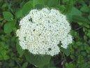 Калина (Viburnum lantana) / Комнатные растения и цветы / Плодоносящие растения