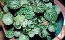 Камнеломка плетеносная (Saxifraga stolonifera) / Комнатные растения и цветы