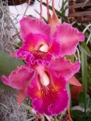 Каттлея (Cattleya) / Комнатные растения и цветы / Орхидеи