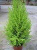 Кипарис крупноплодный (или комнатный кипарис) (Cupressus macrocarpa)