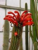 Клейстокактус (Cleistocactus)