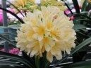 Кливия (Clivia) / Комнатные растения и цветы / Ядовитые растения