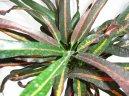 Кодиеум (кротон) пестрый (Codieum variegatum pictum) / Комнатные растения и цветы / Кустовые